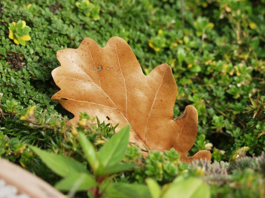 oak-leaf-62716_1280