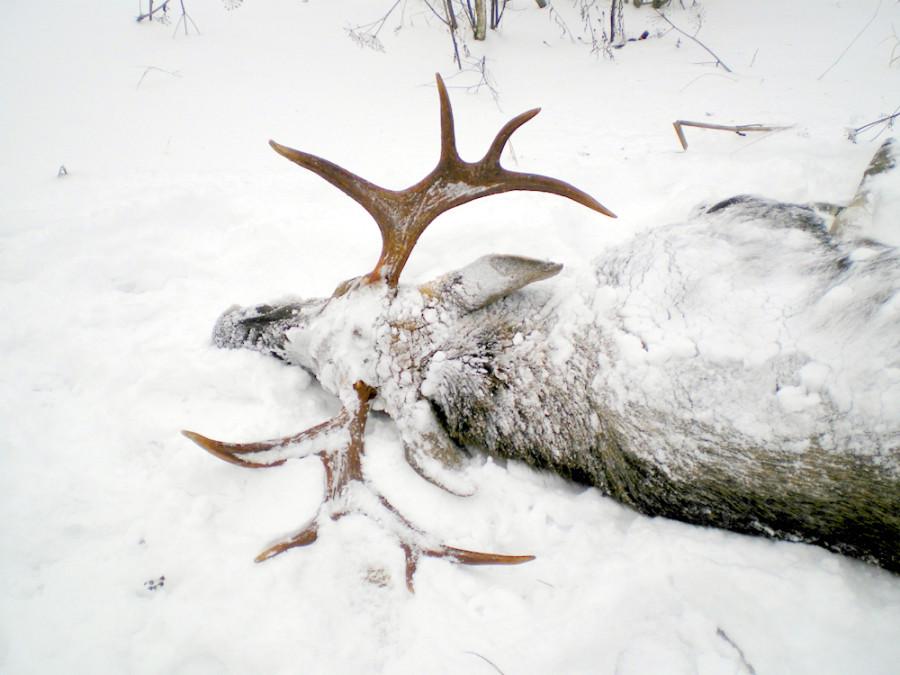 Удачный сезон охоты на лося.