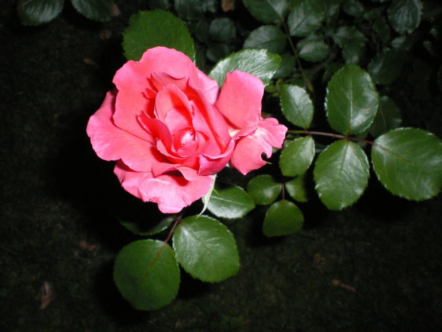 leto-noch-rozy (2)